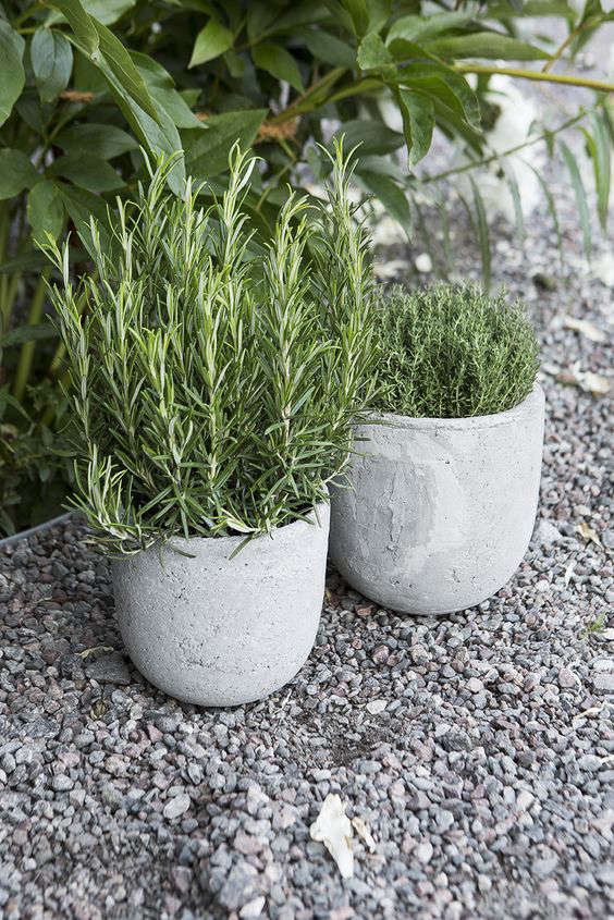 Rosemary in round concrete herb pots.