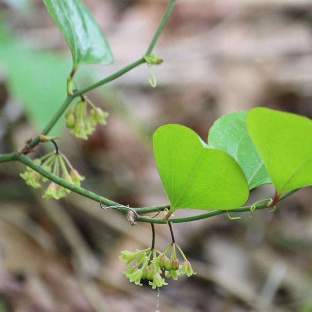 smilax_rotundifolia_marie_viljoen_gardenista
