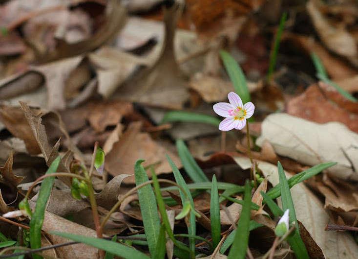 spring-beauty-marie-viljoen-gardenista