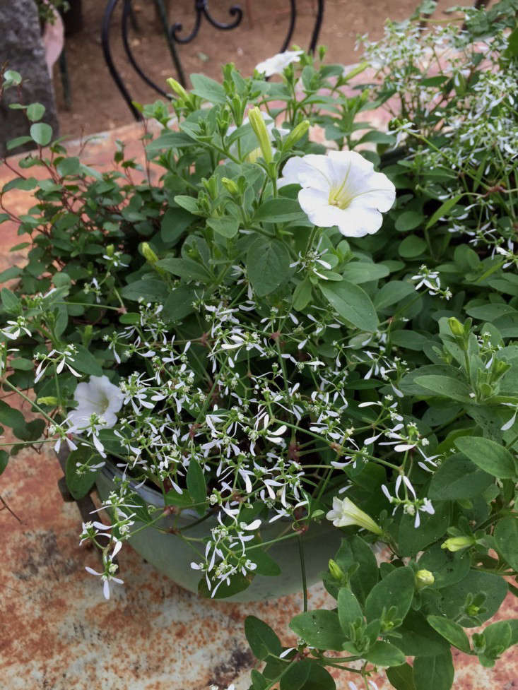 Photograph by Kendra Wilson. Spilling from a planter are a white petunia, the small euphorbia 'Diamond Frost', and Muehlenbeckia axillaris. See more in  White Garden Ideas from Petersham Nurseries.