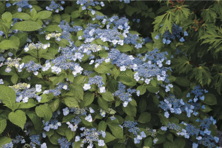 Photograph by Sara Barrett for Gardenista. Hydrangea Serrata &#8