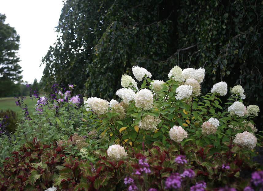 Bobo Hydrangea from White Flower Farm | Gardenista