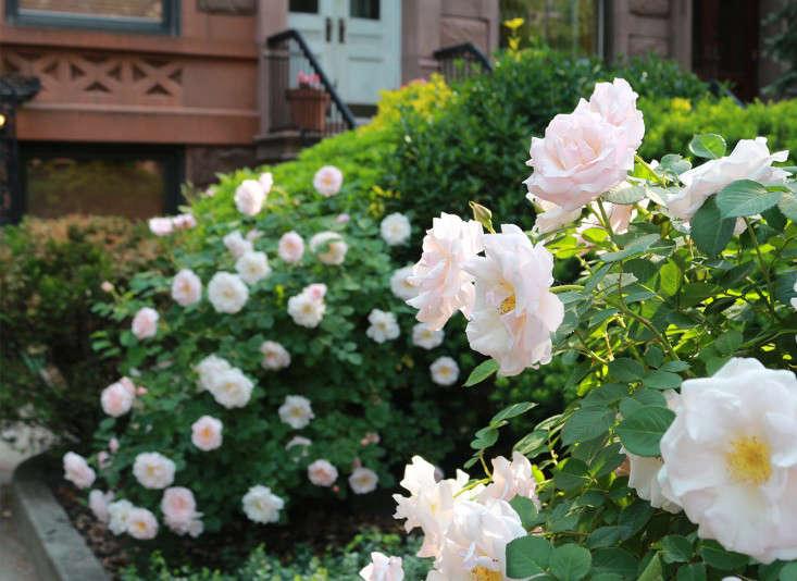 Brooklyn_roses_brownstone_marieviljoen_Gardenista