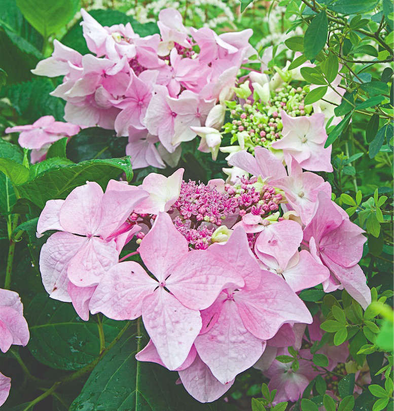 Let's Dance Diva! Hydrangea from White Flower Farm | Gardenista