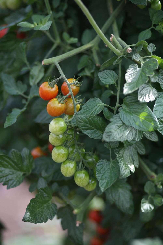 Tomatoes at White Flower Farm | Gardenista