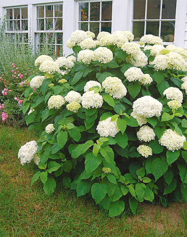 Annabelle Hydrangea from White Flower Farm | Gardenista