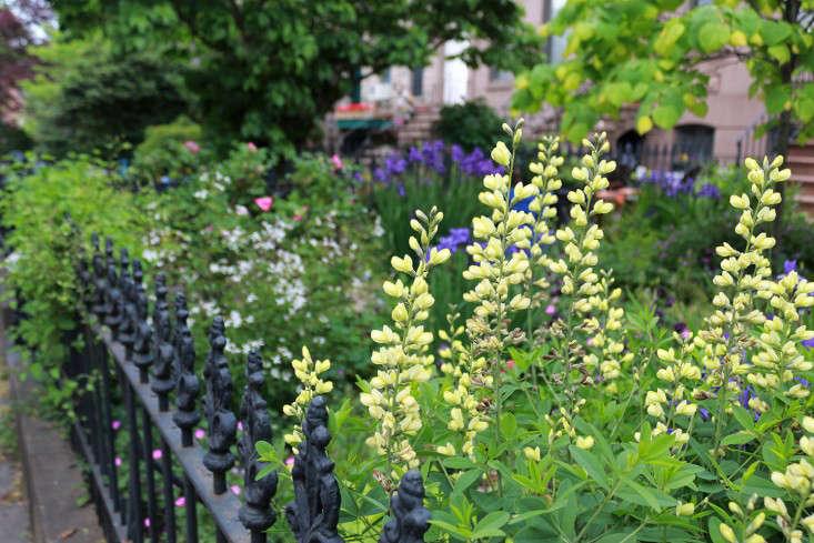 baptisia1_Brooklyn_fence_marieviljoen_Gardenista