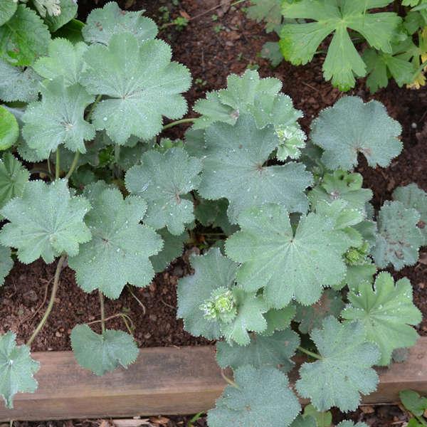 lady-s-mantle-alchemilla-mollis-gardenista