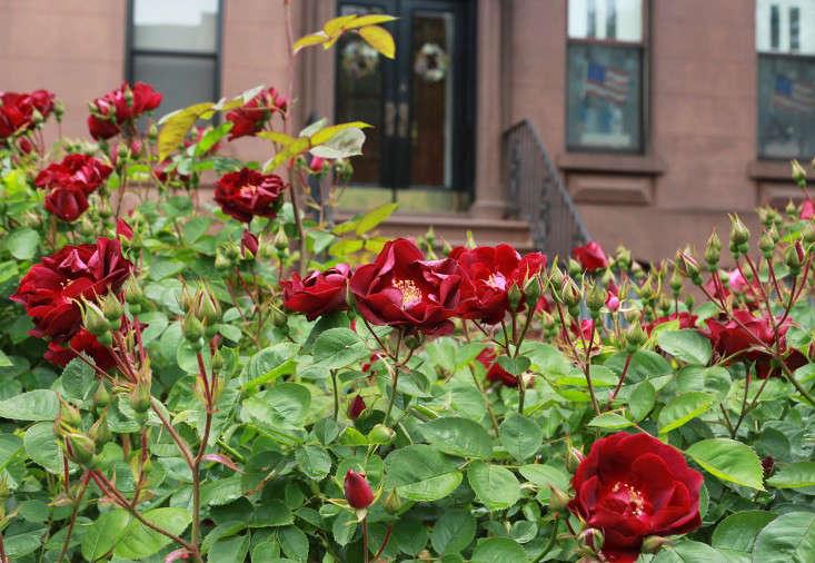 red_rose__brooklyn_brownstone_marieviljoen_gardenista