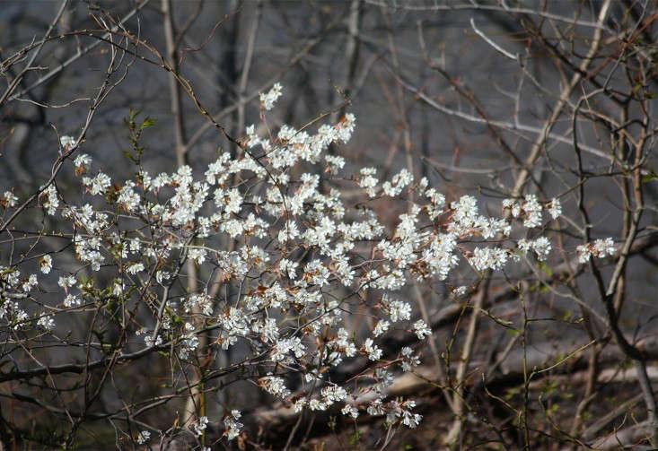 serviceberry_marieviljoen_gardenista
