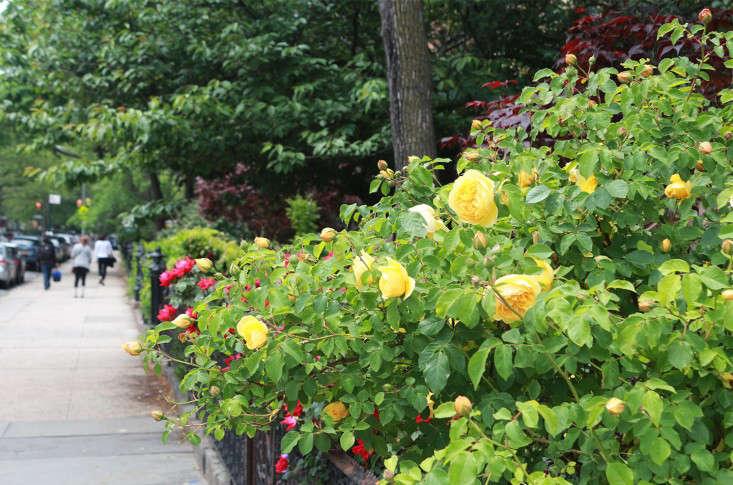 street_roses_marieviljoen_gardenista