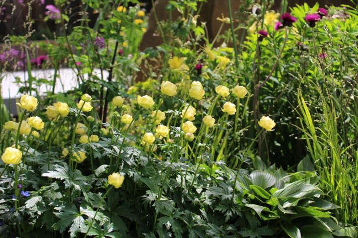 trollius-culturum-chelsea-flower-show-gardenista