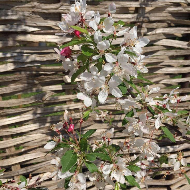 1_Malus_Floribunda_Blossom_Gardenista