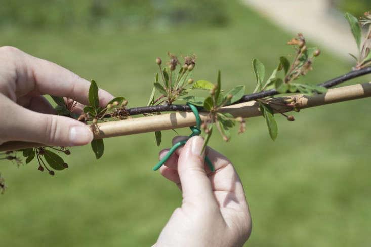 4_Tying_crabapple_espalier_branches_Gardenista