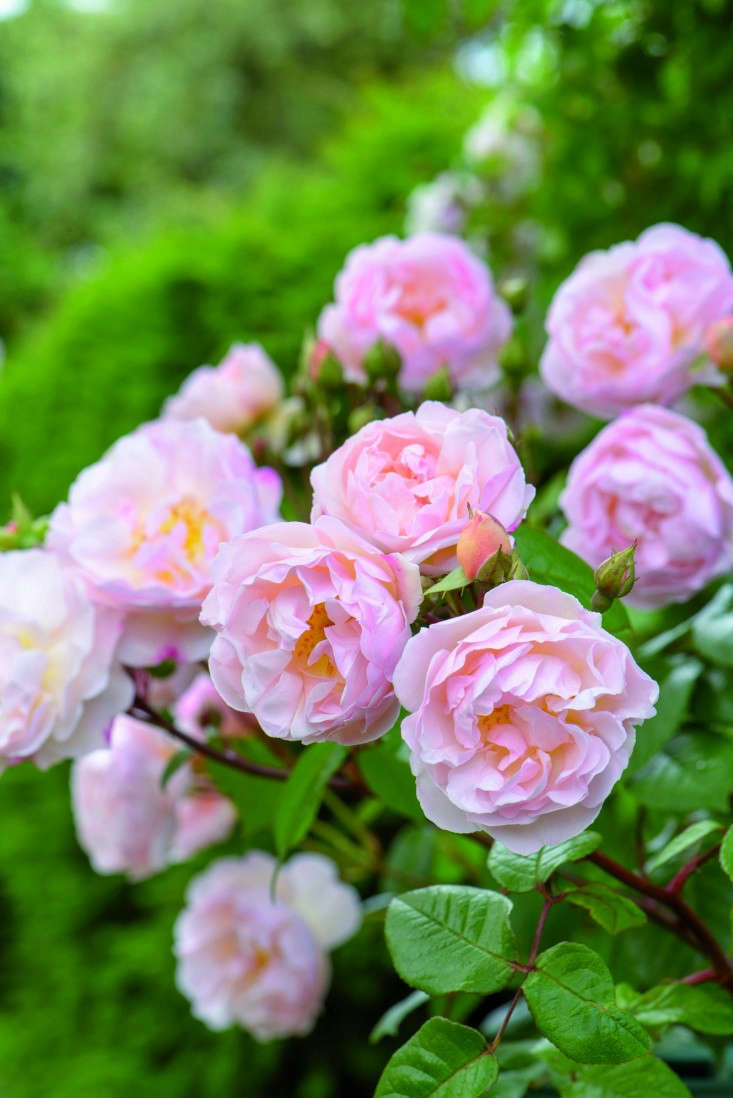 Few ramblers have the ability to repeat flower but one of grower David Austin's recent introductions,'The Lady of the Lake'(Ausherbert), will flower freely (even in shade) and grows to  feet. It is $.50 in the US and£.50 in the UK.