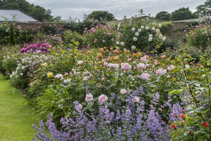Nature abhors a monoculture and sometimes a flower bed does too. AtDavid Austin Roses in Shropshire, England, a rainbow of colors mix in a flower bed of roses and perennials.