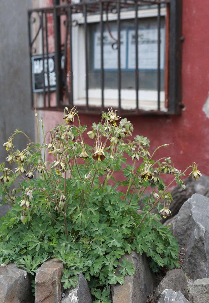 aquilegia_viridiflora_marieviljoen_columbine_gardenista