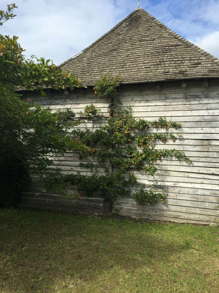 espalier-pear-tree-great-dixter-gardenista