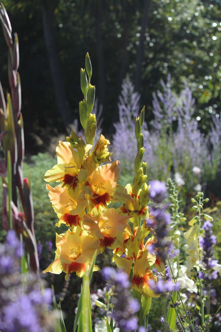 gladiolas-heirloom-michelle-gardenista-2