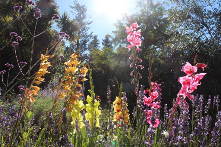 gladiolas-heirloom-michelle-gardenista-3
