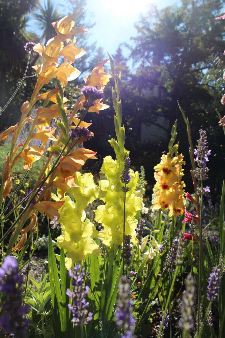 gladiolas-heirloom-michelle-gardenista-4