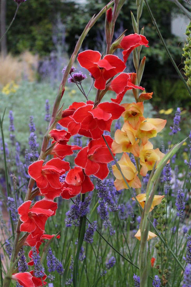 gladiolas-heirlooms-gardenista-IMG_3275