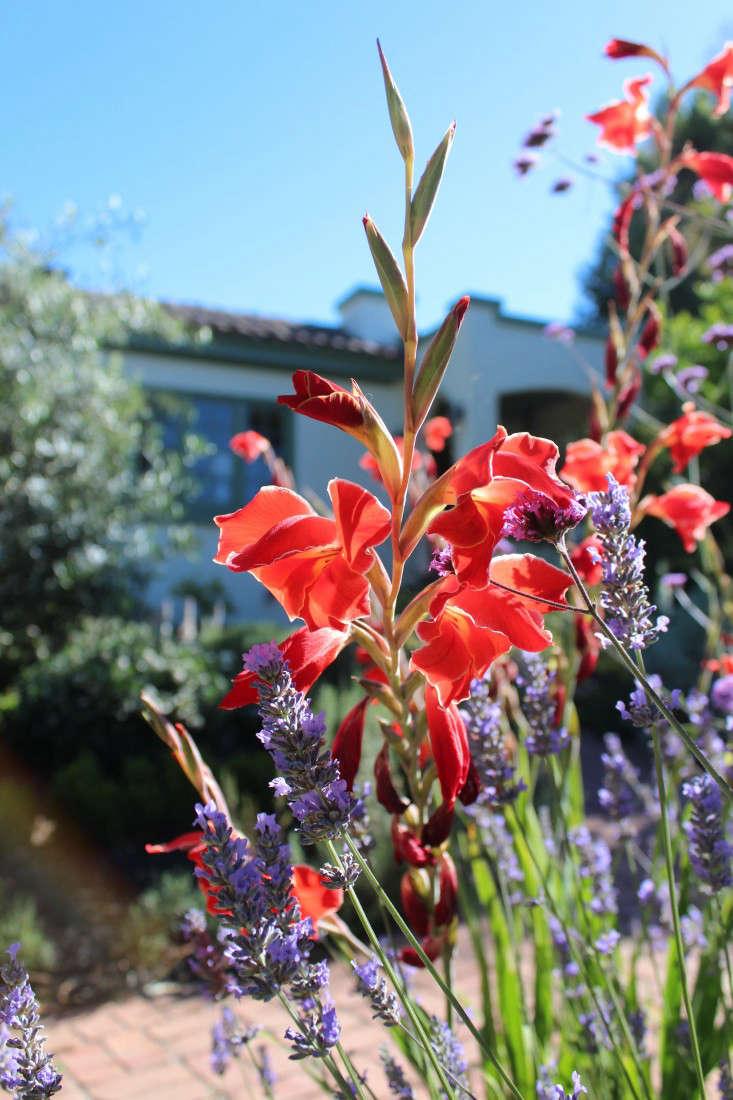gladiolus-atom-gardenista