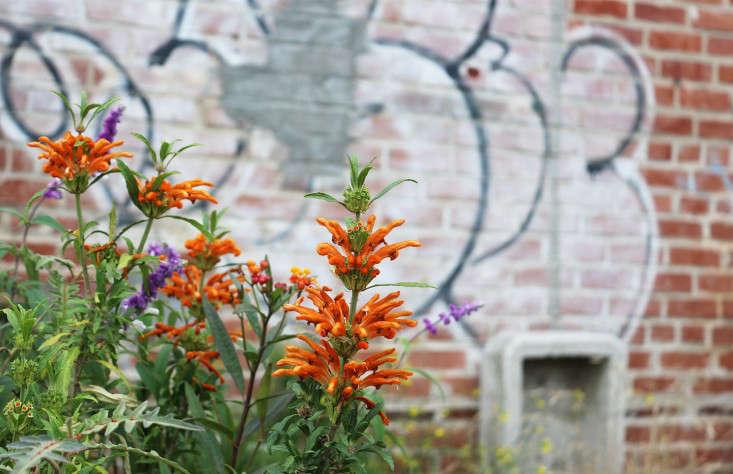leonotis_marieviljoen_gowanus_nursery_gardenista