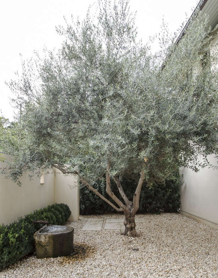 A handsome olive tree is protected from wind in a walled courtyard in a Texas garden. Photograph by Matthew Williams.