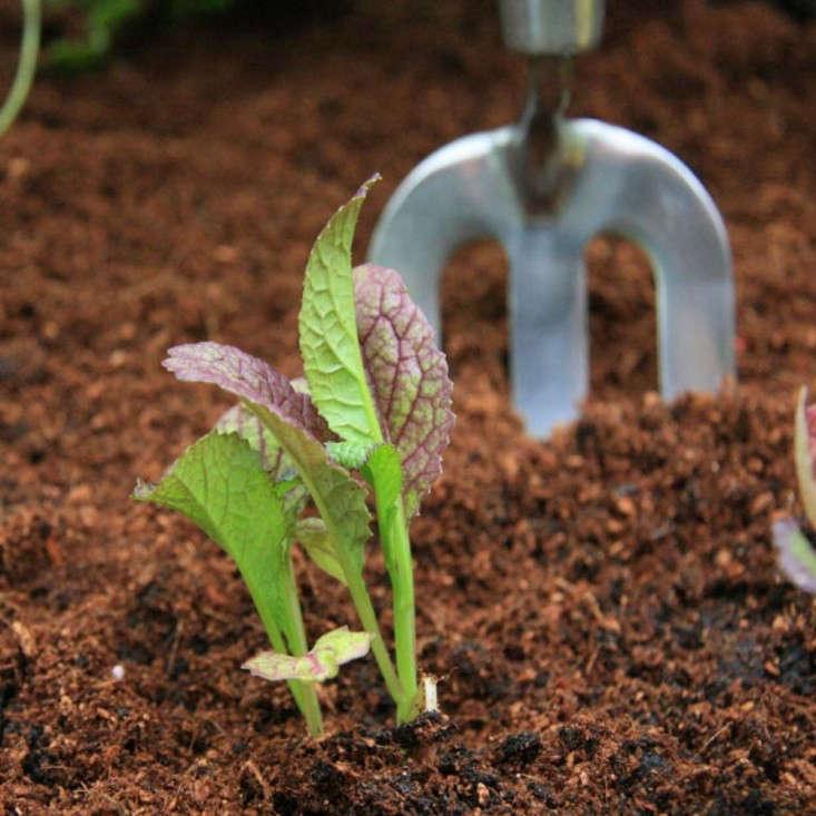 rocket-gardens-giant-red-mustard-with-fork-gardenista
