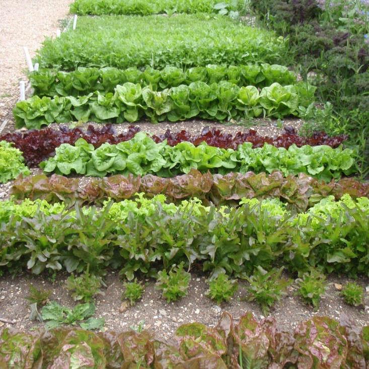 rocket-gardens-salad-lettuce-garden-gardenista