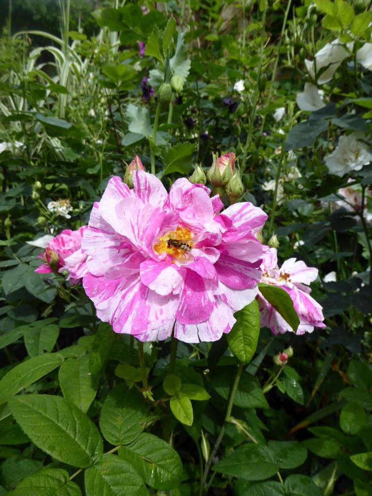 rosa-mundi-daisy-garnett-garden-london-gardenista