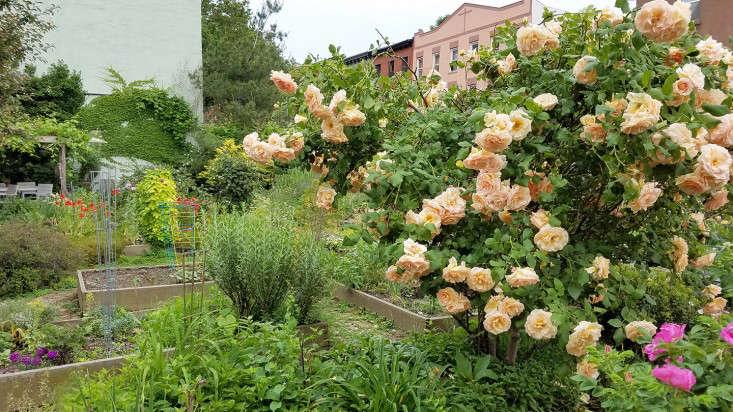 rose_raised_beds_Brooklyn-marieviljoen_Gardenista