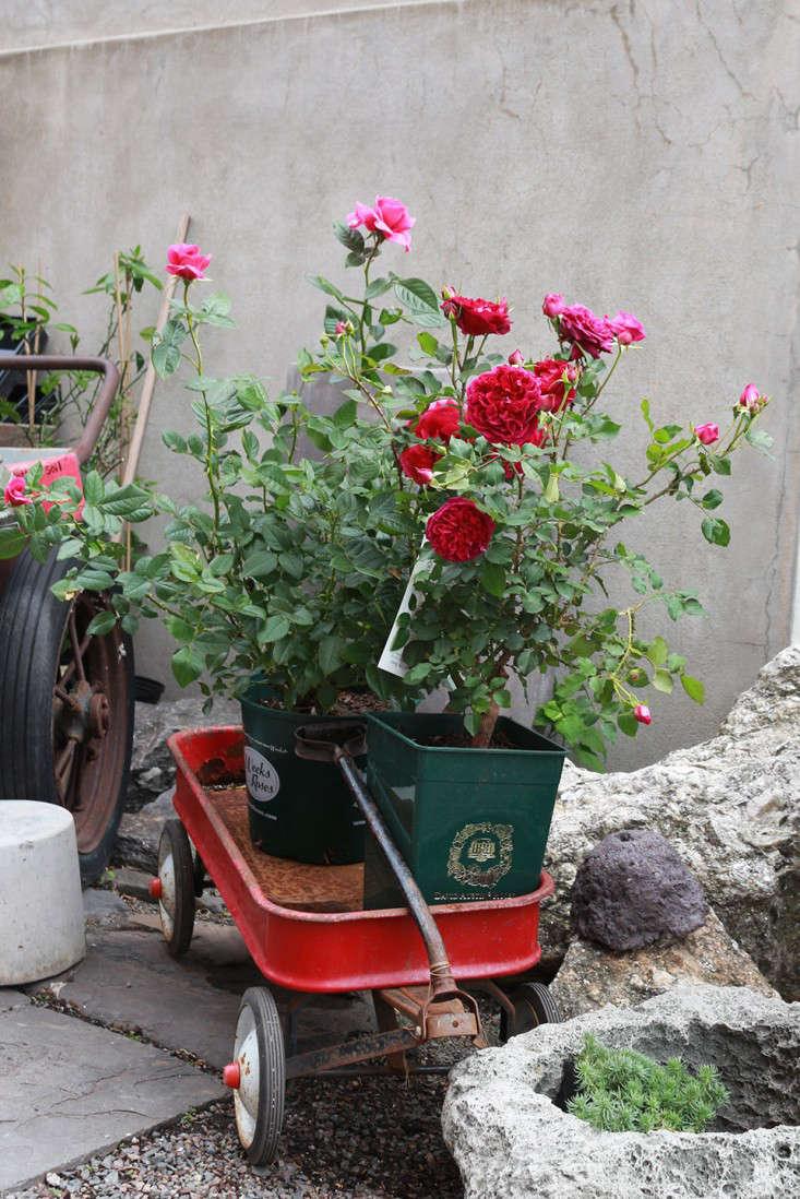 roses_marieviljoen_wagon_gowanus_nursery_brooklyn_gardenista