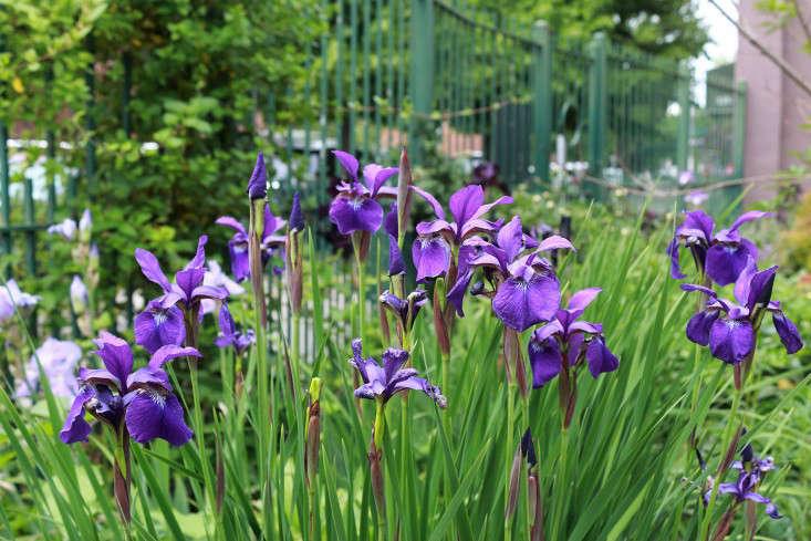 siberian_iris_Brooklyn_Summit_Street_garden_fence_marieviljoen_Gardenista