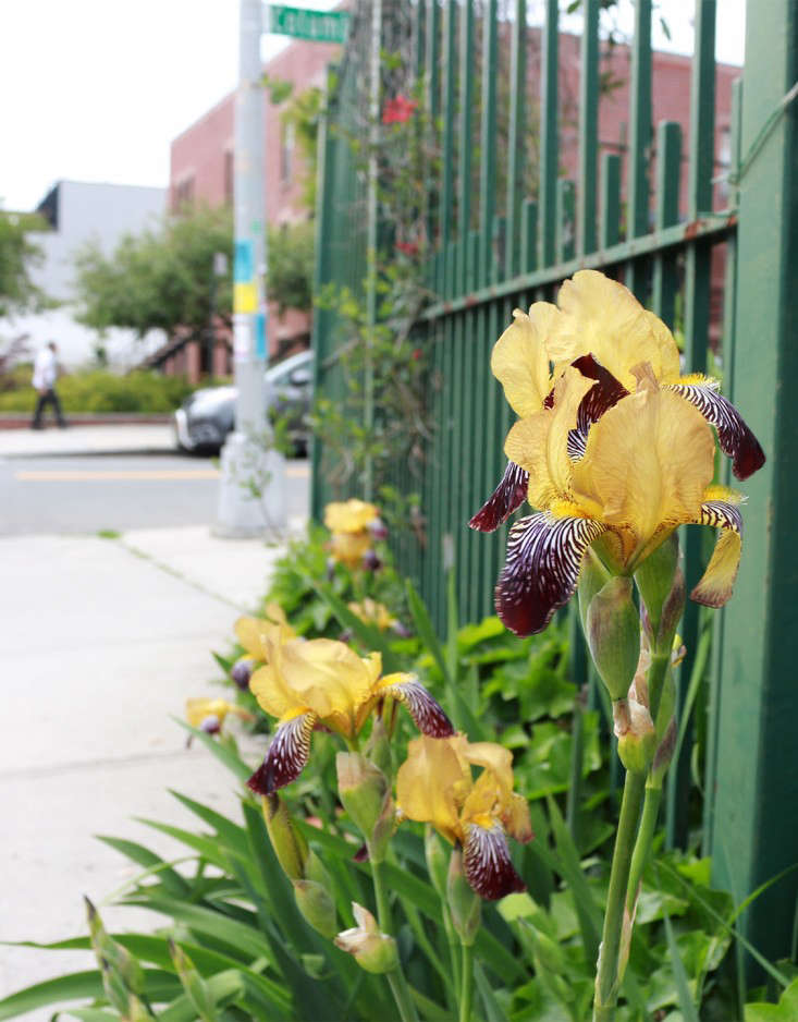 sidewalk_iris_Brooklyn_marieviljoen_Gardenista