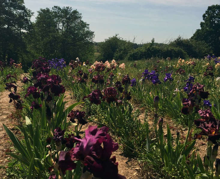 woottens-iris-fields-9-gardenista