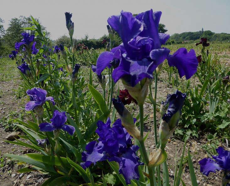 woottens-nursery-4-Iris-Stellar-Light-Gardenista