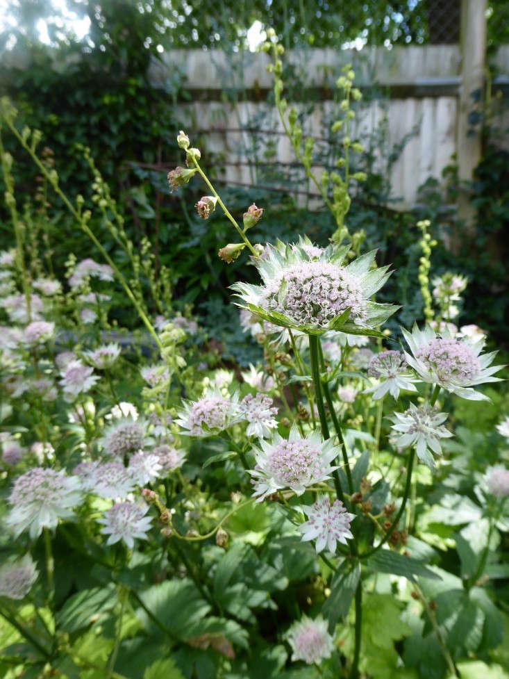 Astrantia-Shaggy-daisy-garnett-gardenista