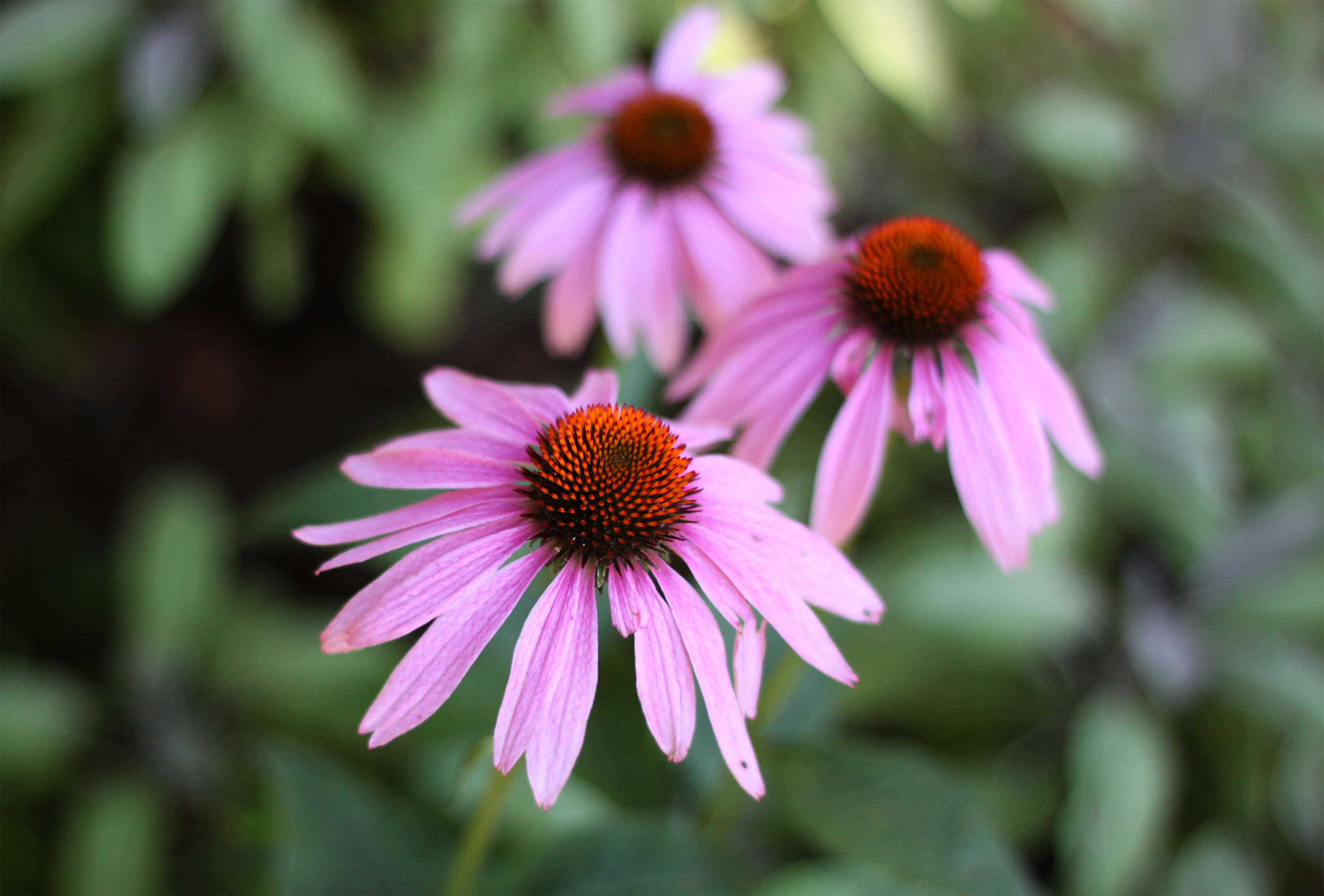 Marnie&#8\2\17;s signature colors, pink and orange, are reflected in these splendid echinacea.