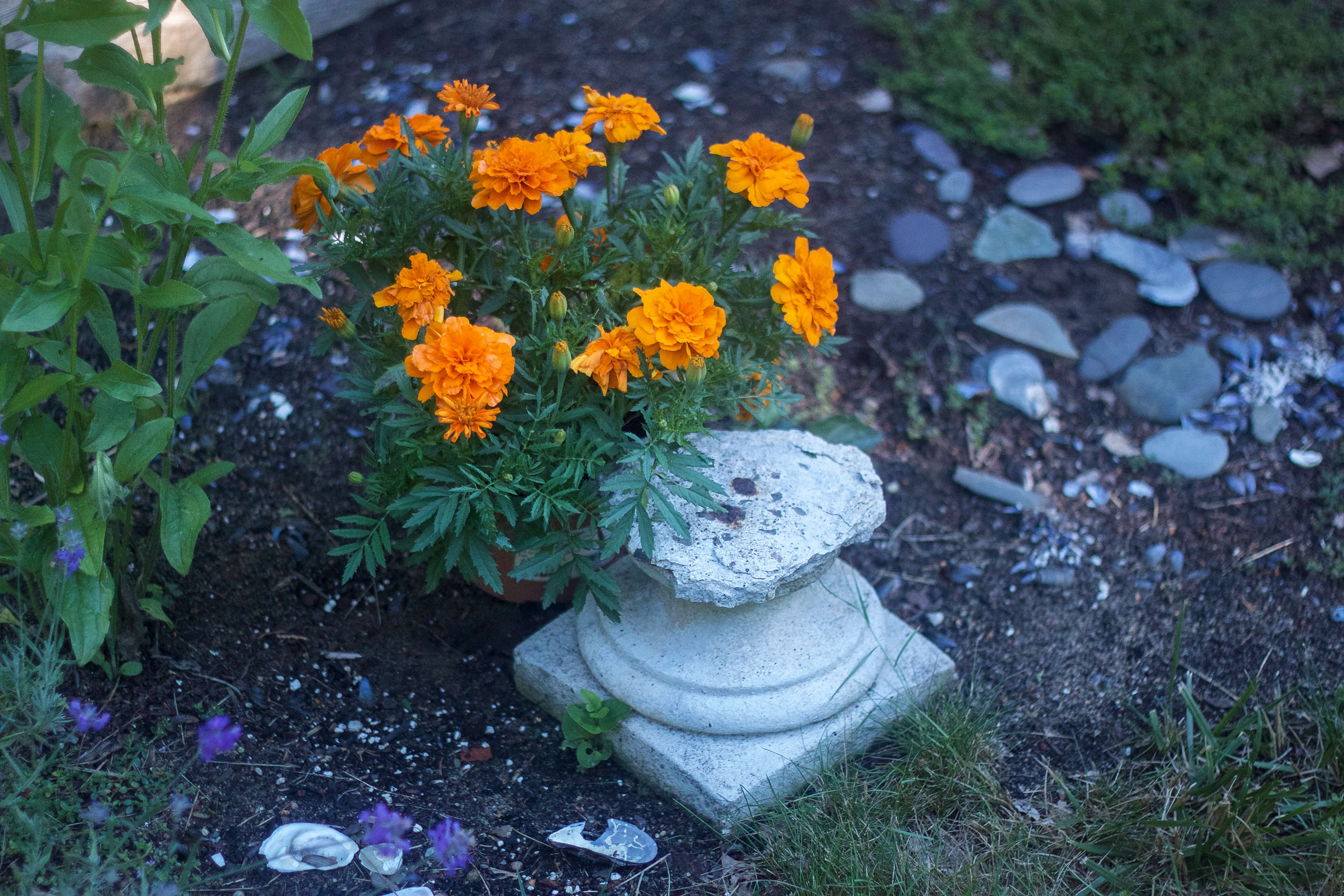 In the herb garden, a broken bird bath is not cast off. Instead it makes a striking companion to some cheerful marigolds.