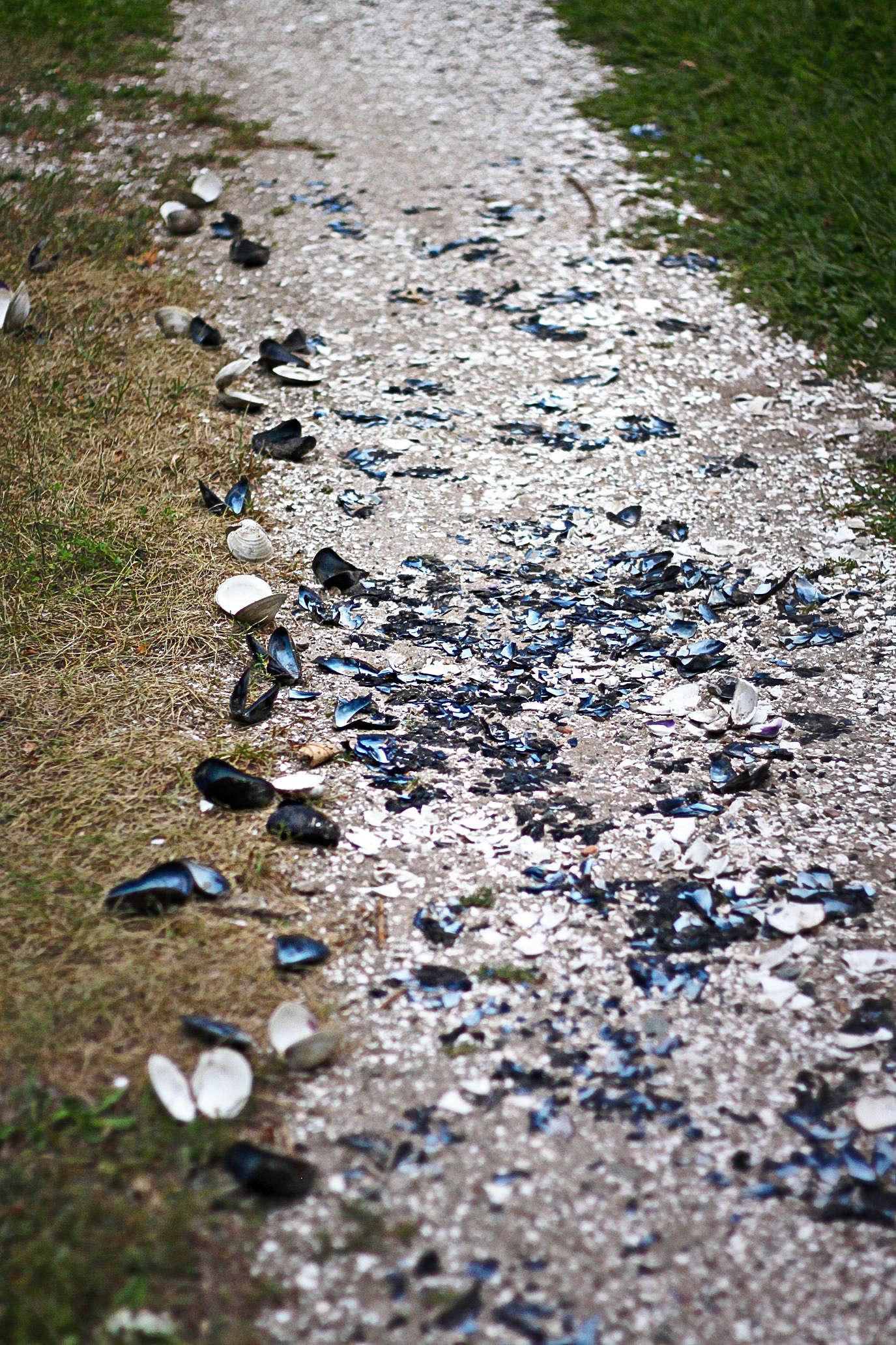 After a seafood meal, real Cape Codders throw any and all shells into their drives.