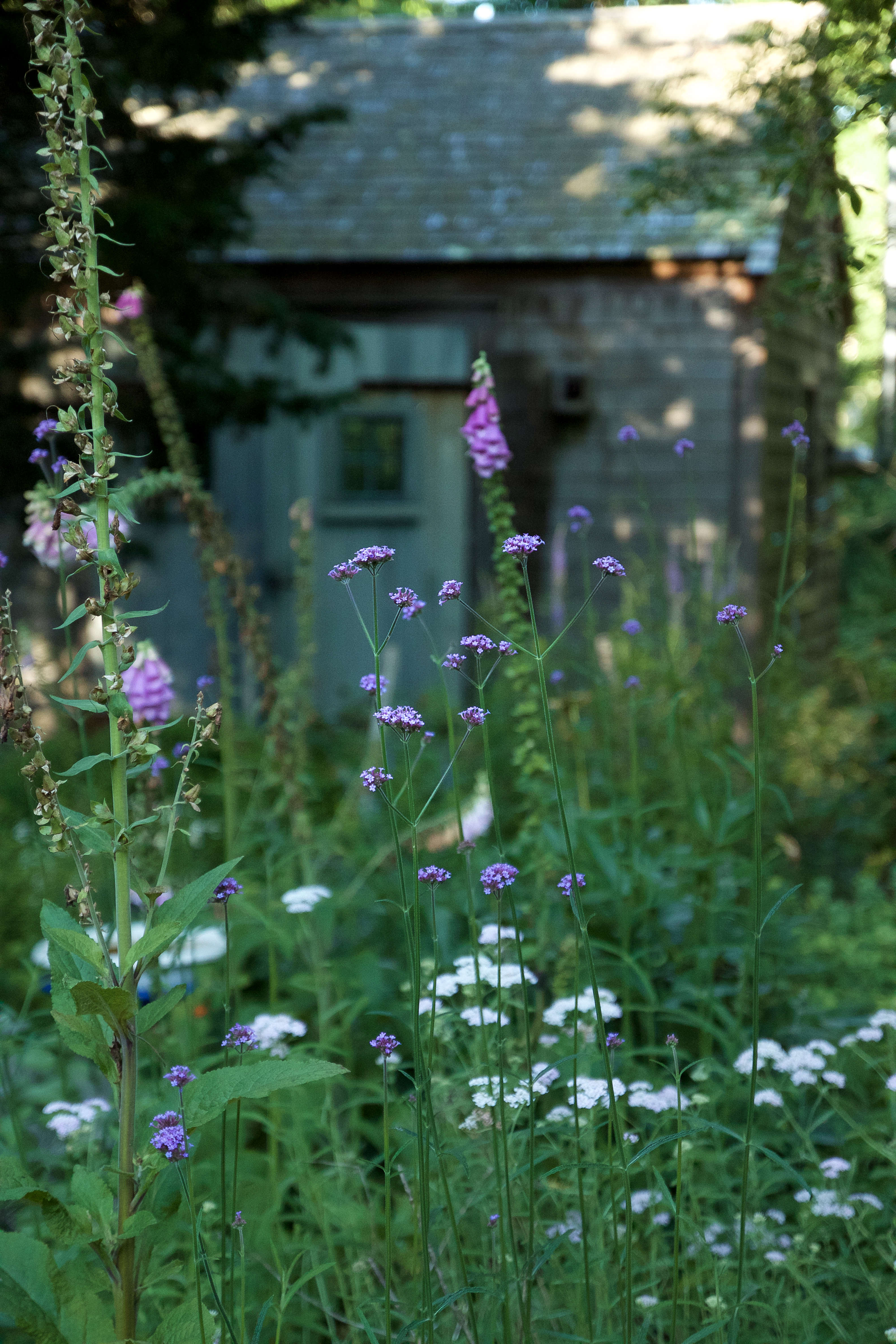 The pert faces of verbena and native yarrow bloom in front of the garden shed in July.