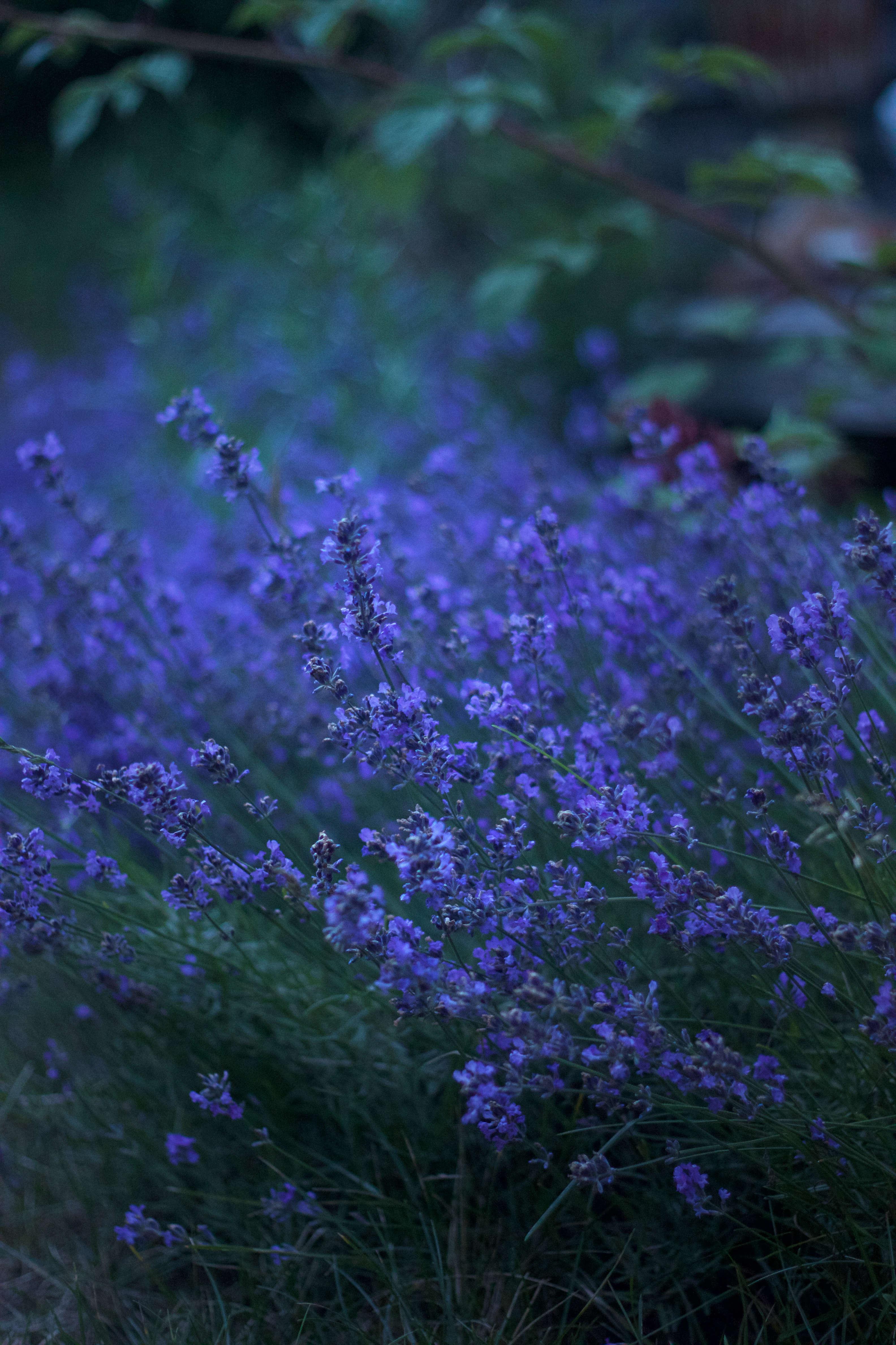Lavender thrives in Cape Cod&#8\2\17;s arid soil.