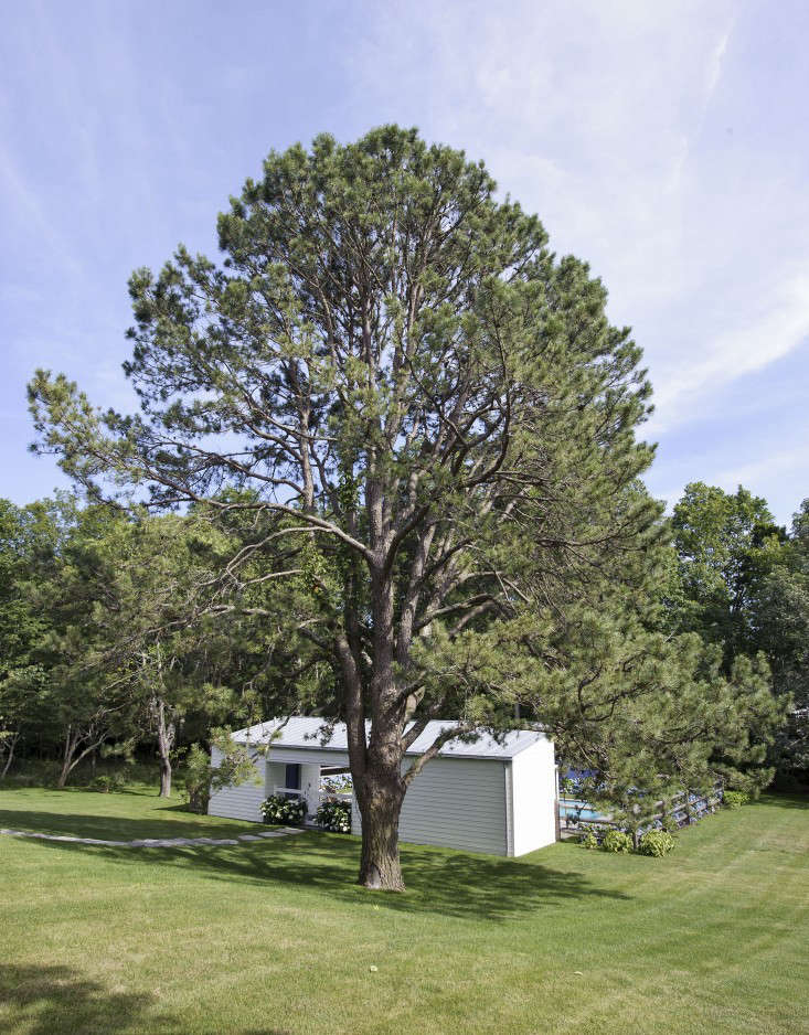 A pitch pine, a North American native tree, provides a dramatic focal point in the gently sloped lawn.