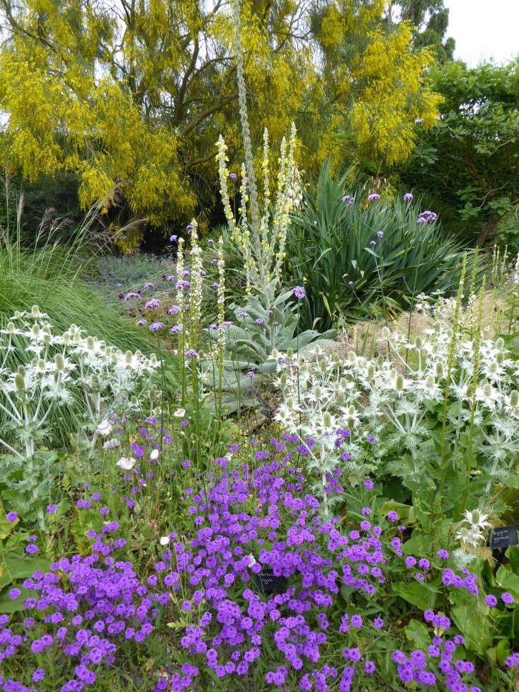beth-chatto-Verbena-Rigida-purple-gravel-garden-gardenista
