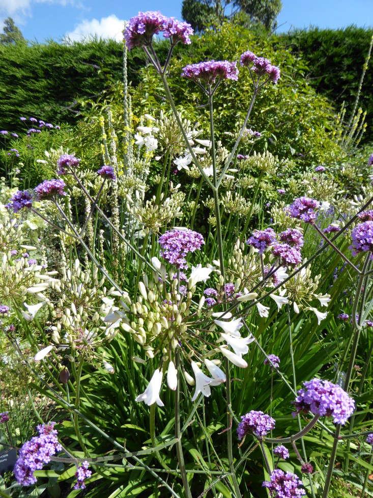 beth-chatto-gravel-garden-Agapanthas-Verbena-gardenista