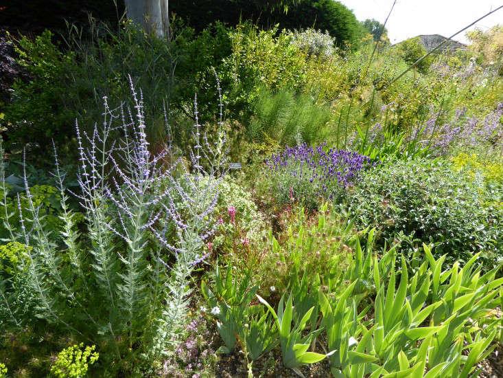beth-chatto-gravel-garden-perovskia-gardenista