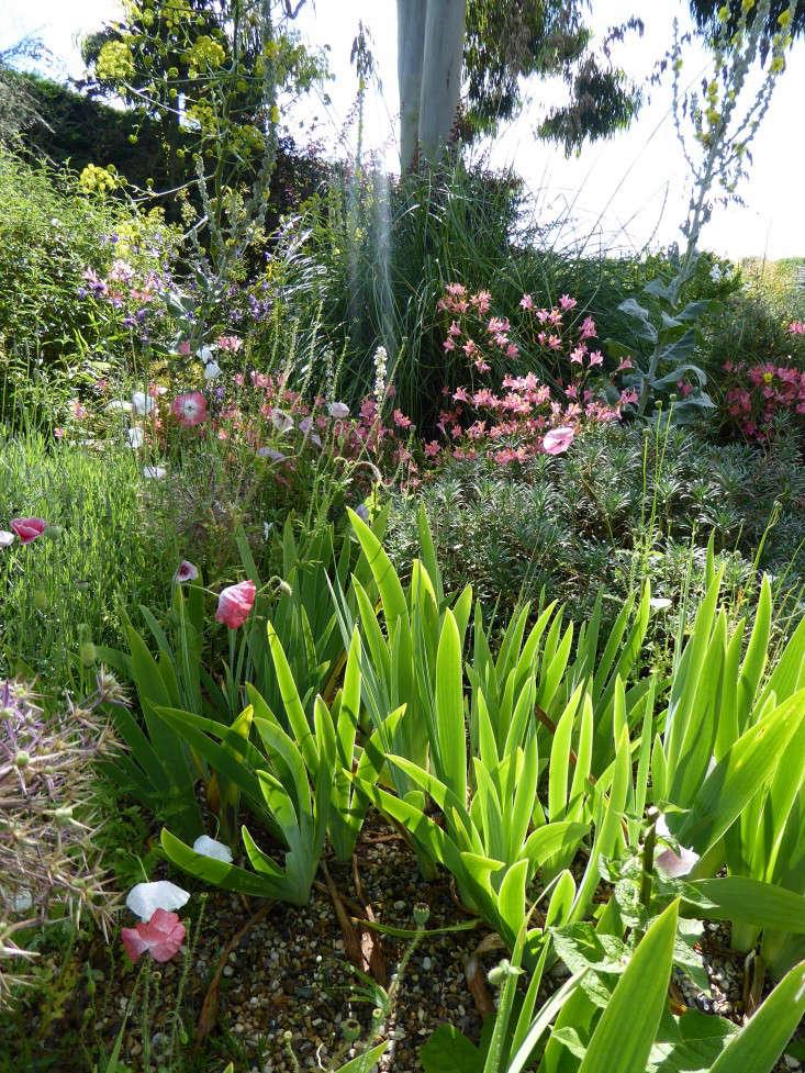 beth-chatto-pink-poppies-irises-gardenista