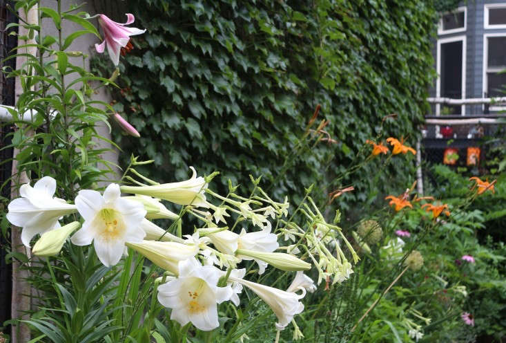 Formosa lilies. For more of this garden, see Rehab Diary: A Year in the Life of a Brooklyn Garden. Photograph by Marie Viljoen.